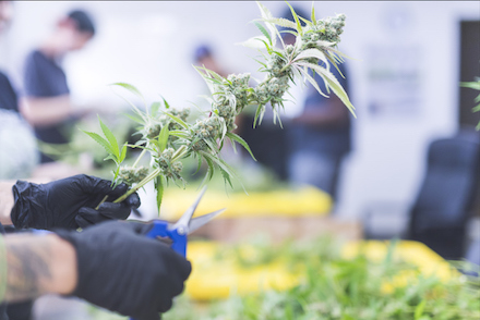 How To Trim Weed Plants For Harvest