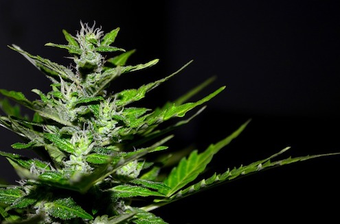 How To Grow Bigger Buds Outdoors: 6 Methods