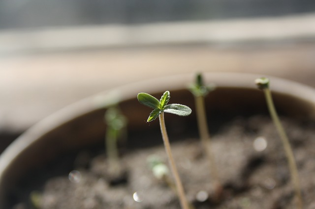 cannabis seedling in pot