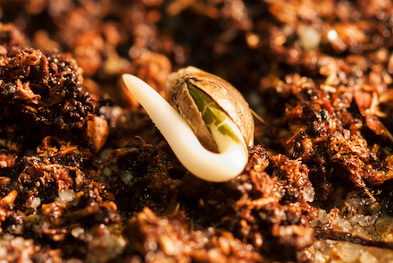 Cannabis seed sprouting